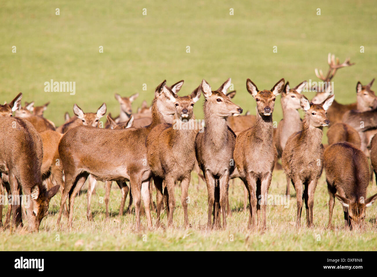 Windsor Great Park and herd of red deer - cervus elaphus, Berkshire, England, UK - Stock Image