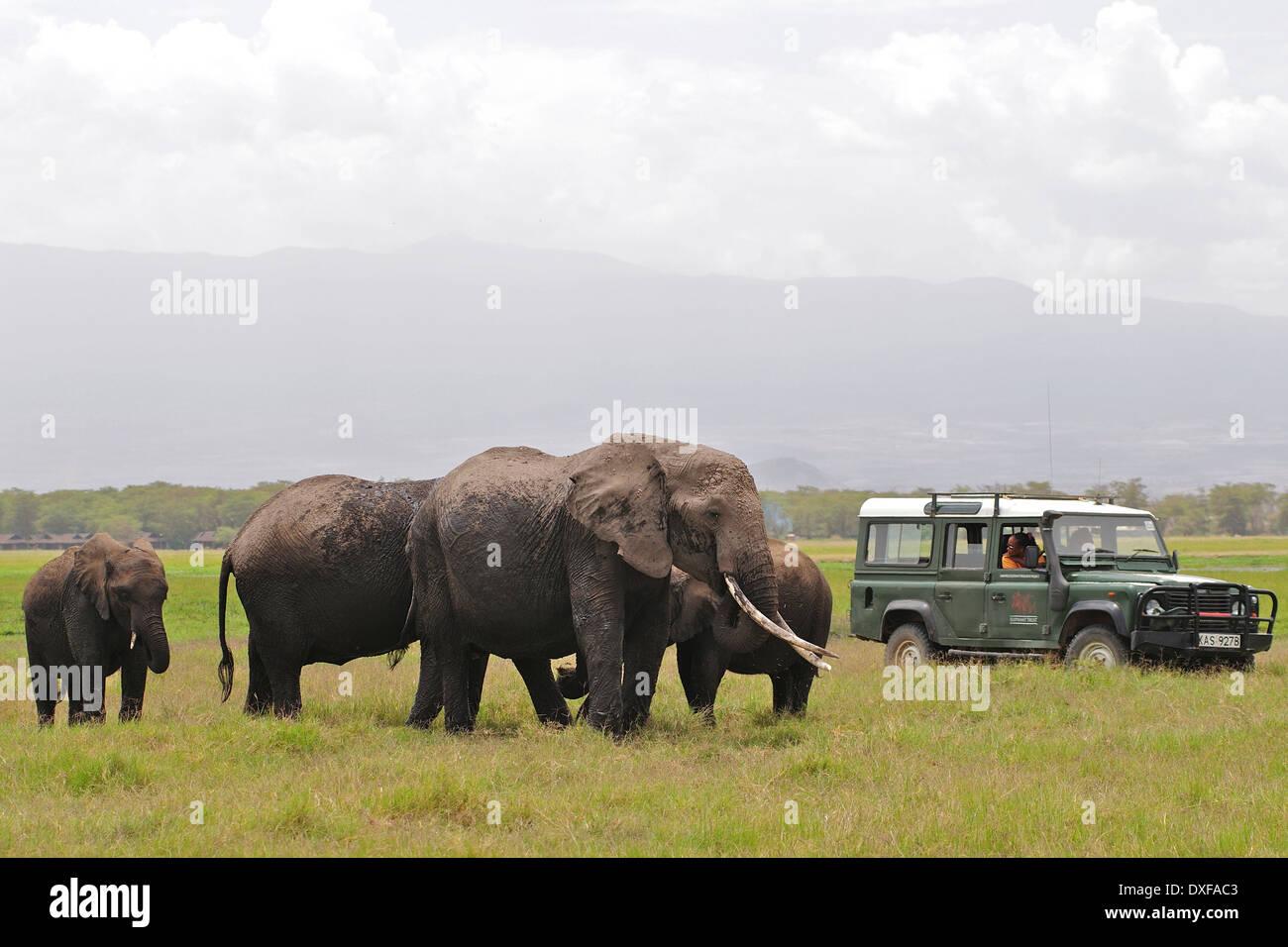 Famous African Elephant, Echo, with the women of Amboseli Trust For Elephants studying her behaviour. Amboseli. Stock Photo