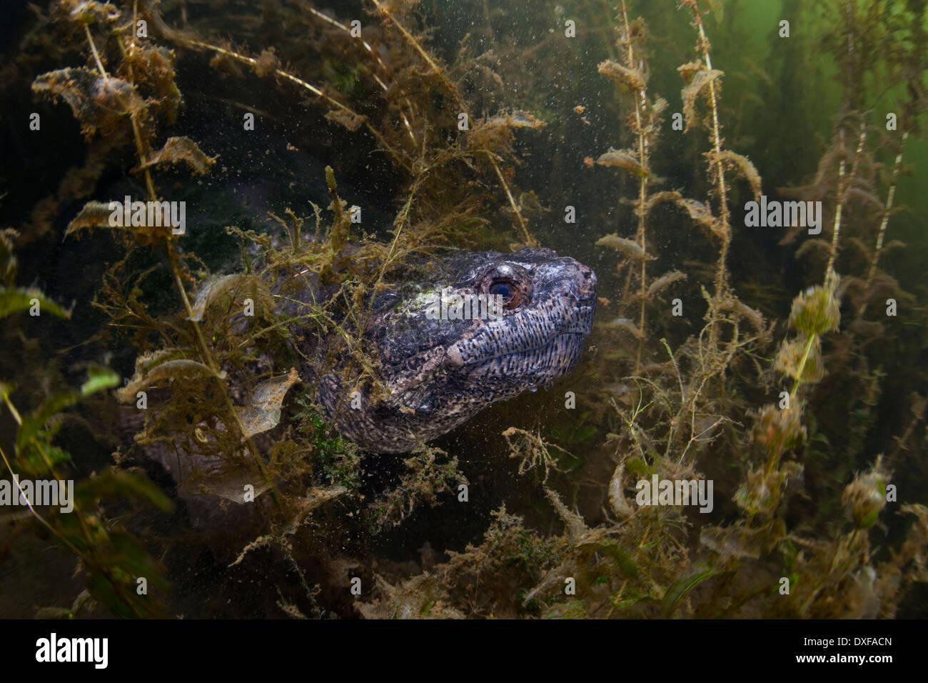 Common Snapping Turtle, Chelydra serpentina, Massachusetts, Cape Cod, USA Stock Photo
