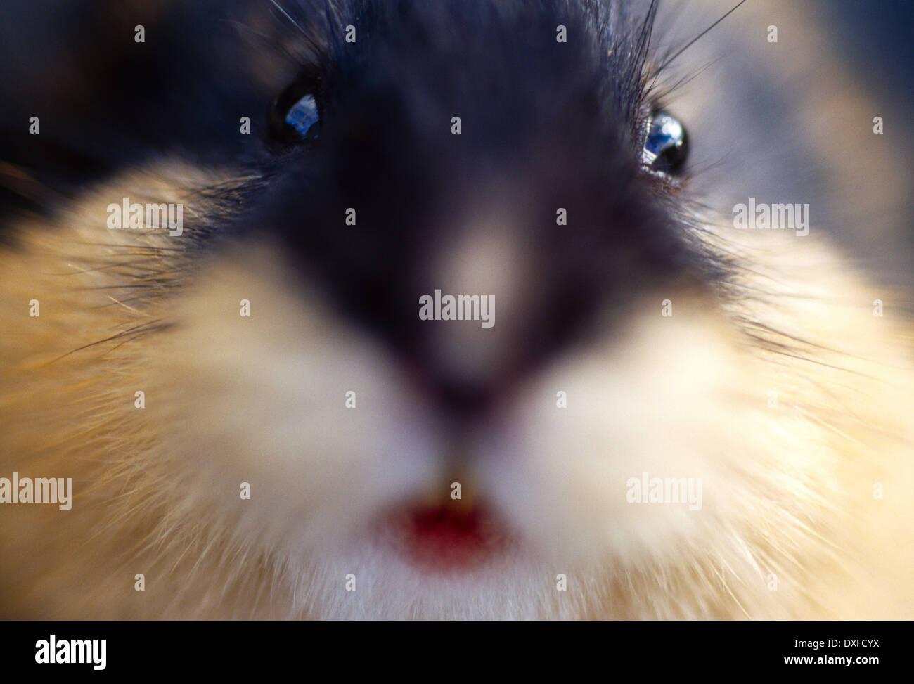 Norway lemming (Lemmus lemmus) - Stock Image