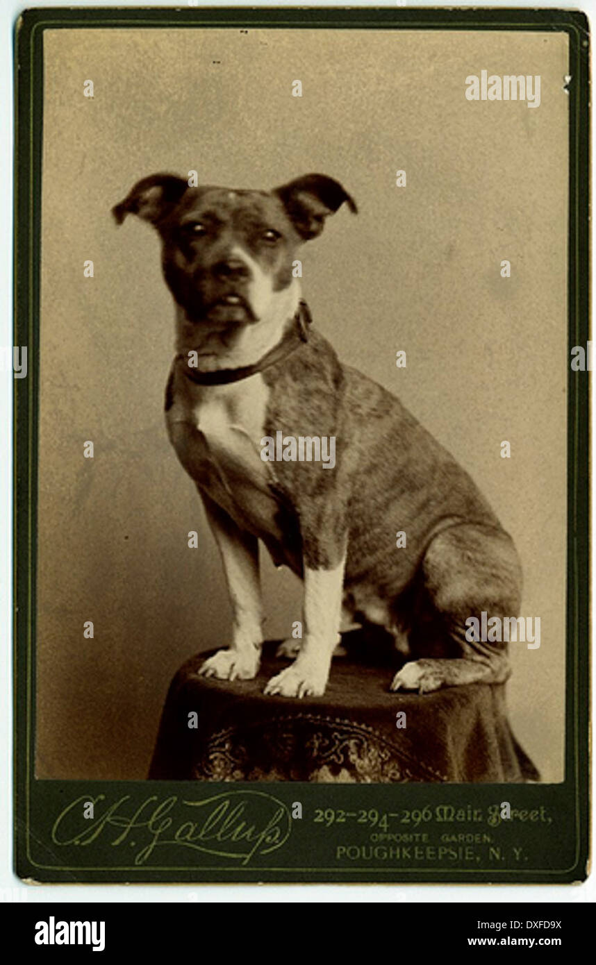Small, brindle-marked dog posed on table in studio - Stock Image