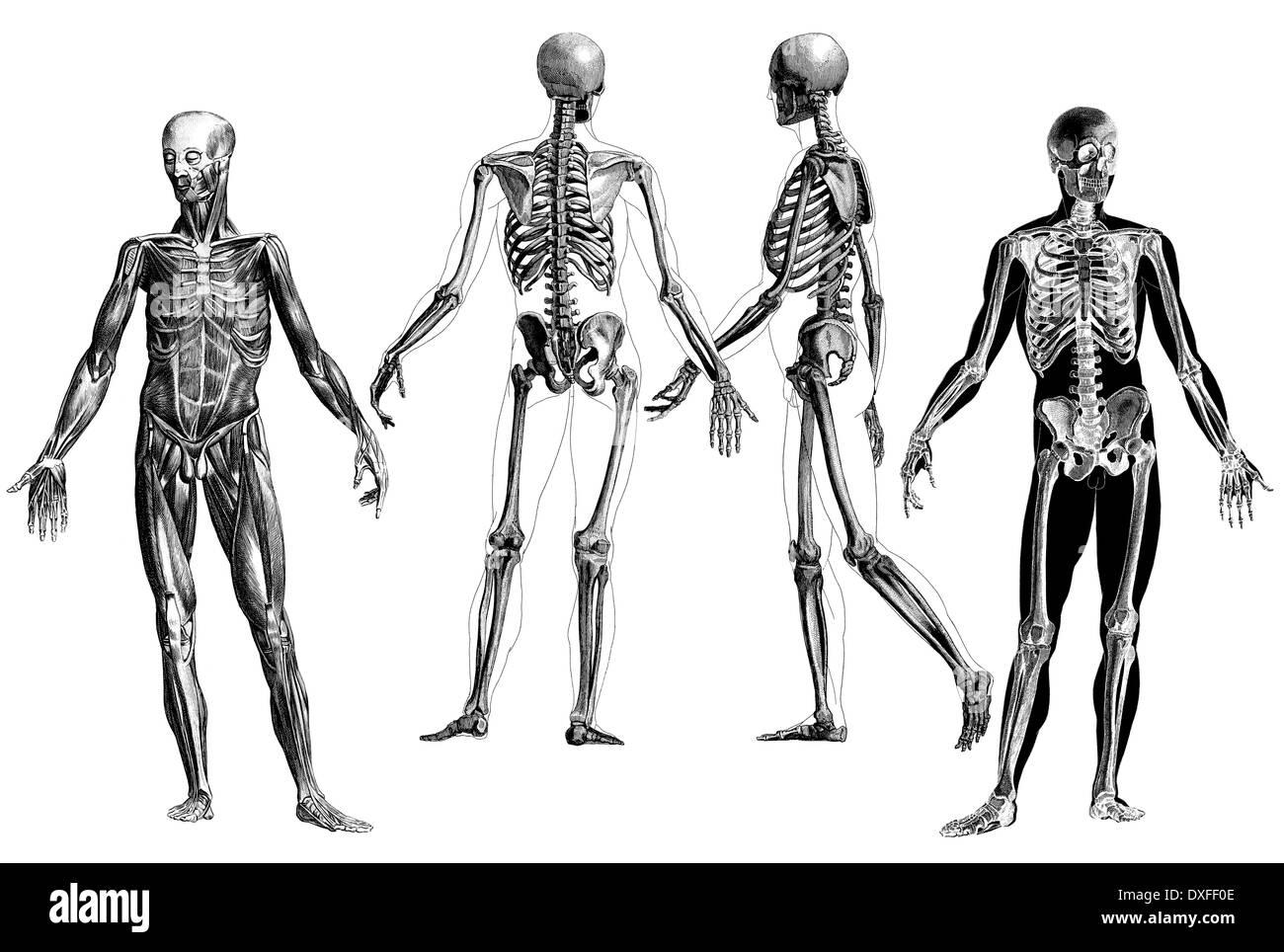 Victorian Anatomical Drawing Stock Photos & Victorian Anatomical ...