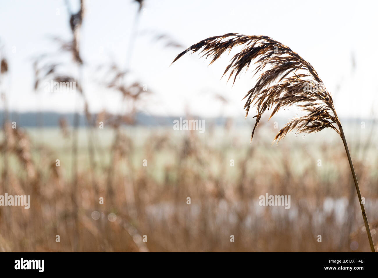 Phragmites, the common reed, is often used for thatching and is known in the UK as Norfolk reed or water reed - Stock Image