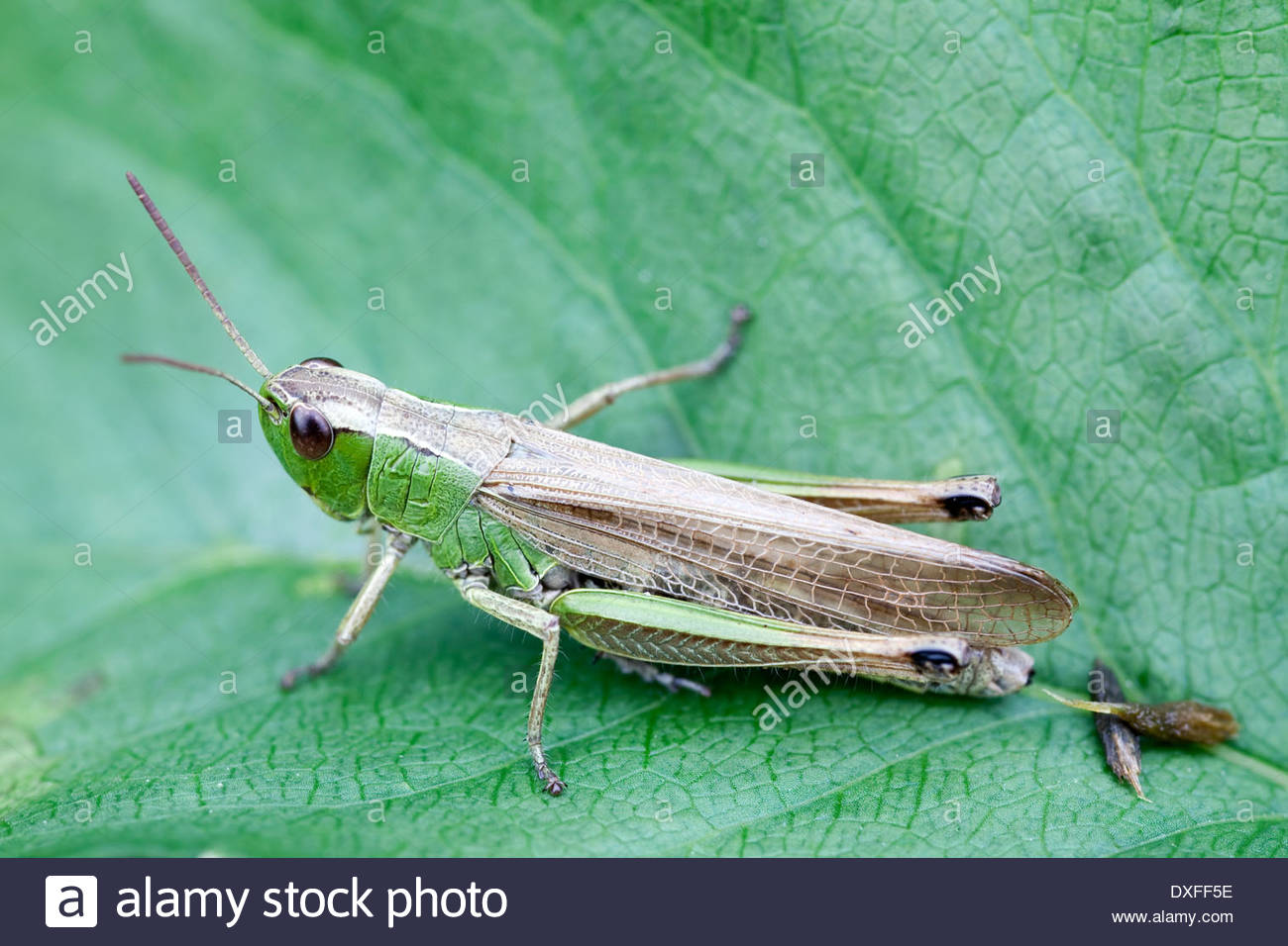 Grasshopper on a green leaf - Stock Image