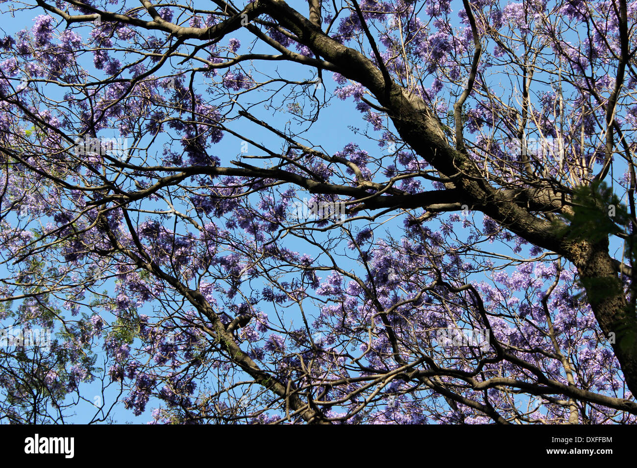Purple Flowers Of The Jacaranda Tree In Bloom Mexico City Stock
