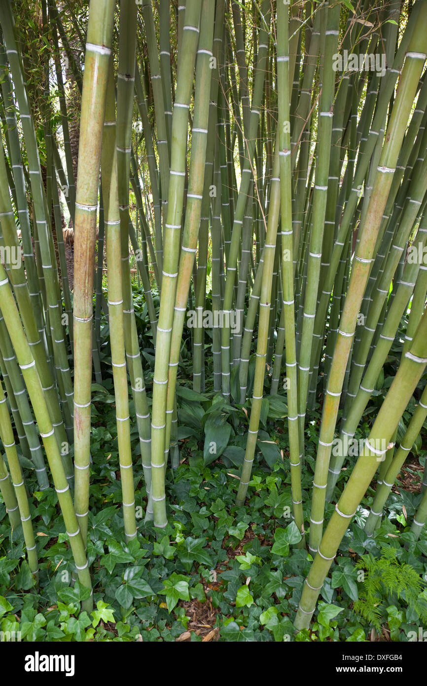 Bamboo (Bambusa Gramineae) - A giant woody grass that grows chiefly in the tropics - Stock Image