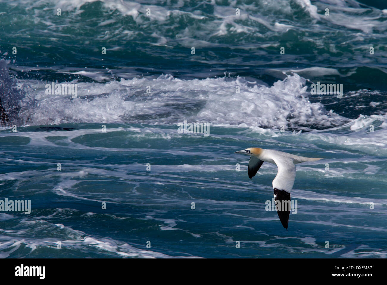 An adult Northern Gannet (Morus bassanus) flying low over the rough sea, Cornwall, UK. - Stock Image