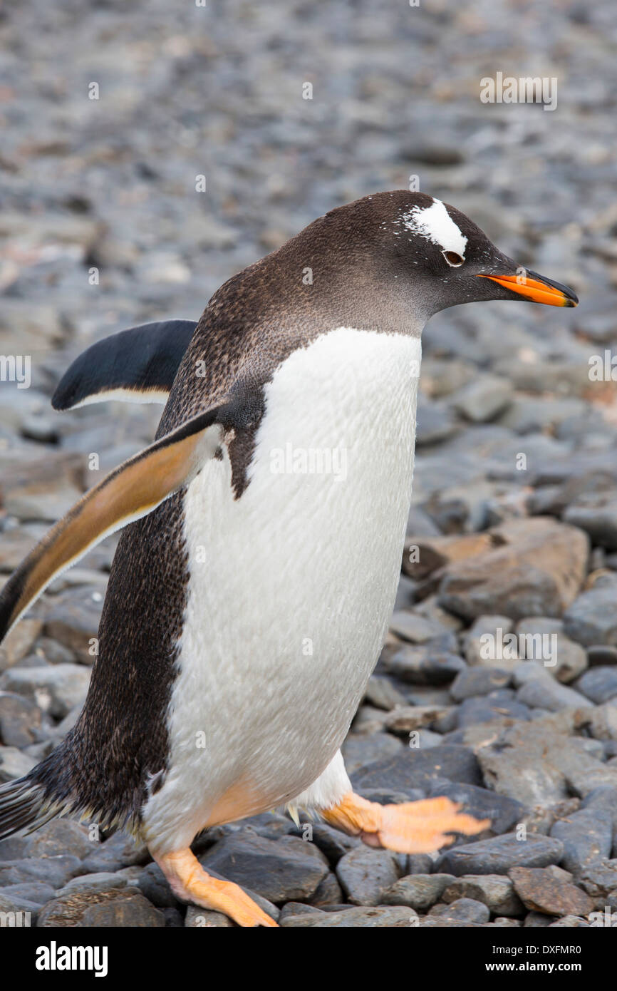 A Gentoo Penguin; Pygoscelis papua on Prion Island, South Georgia, Antarctica. Stock Photo