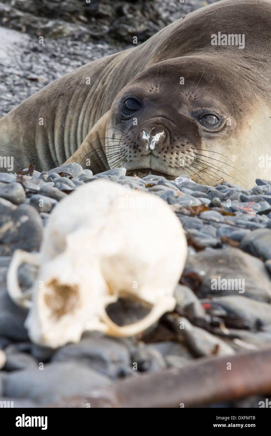 Bone Seal Stock Photos Images Alamy Harbor Skeleton Diagram Skeletal Anatomy Marine Mammals Southern Elephant Mirounga Leonina And A Skull On Prion Island South