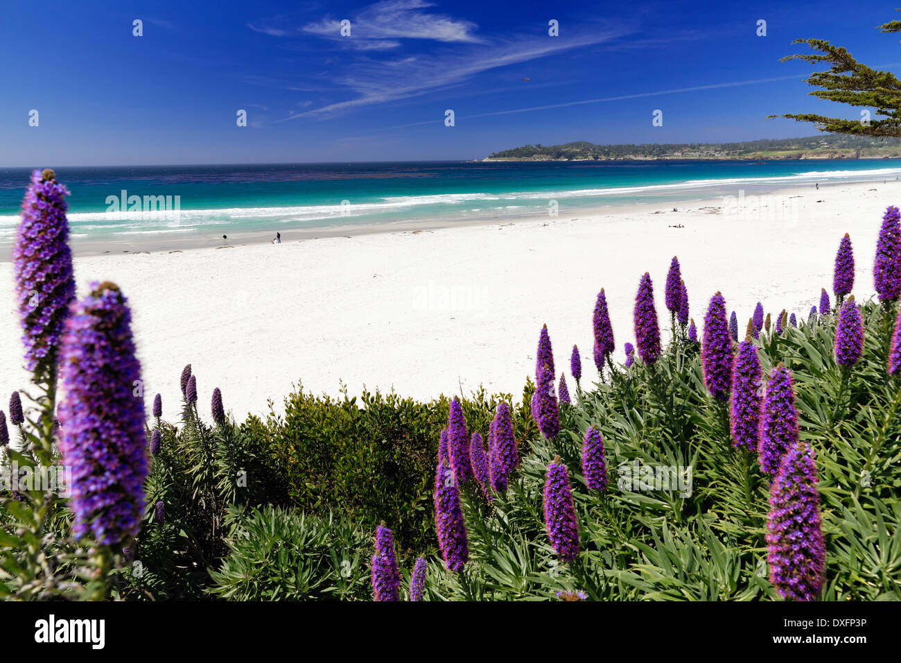 Wildflowers (Pride of Madeira) Blooming Along the Pacific Beach, Carmel-by the Sea, Monterey Peninsula, California. - Stock Image
