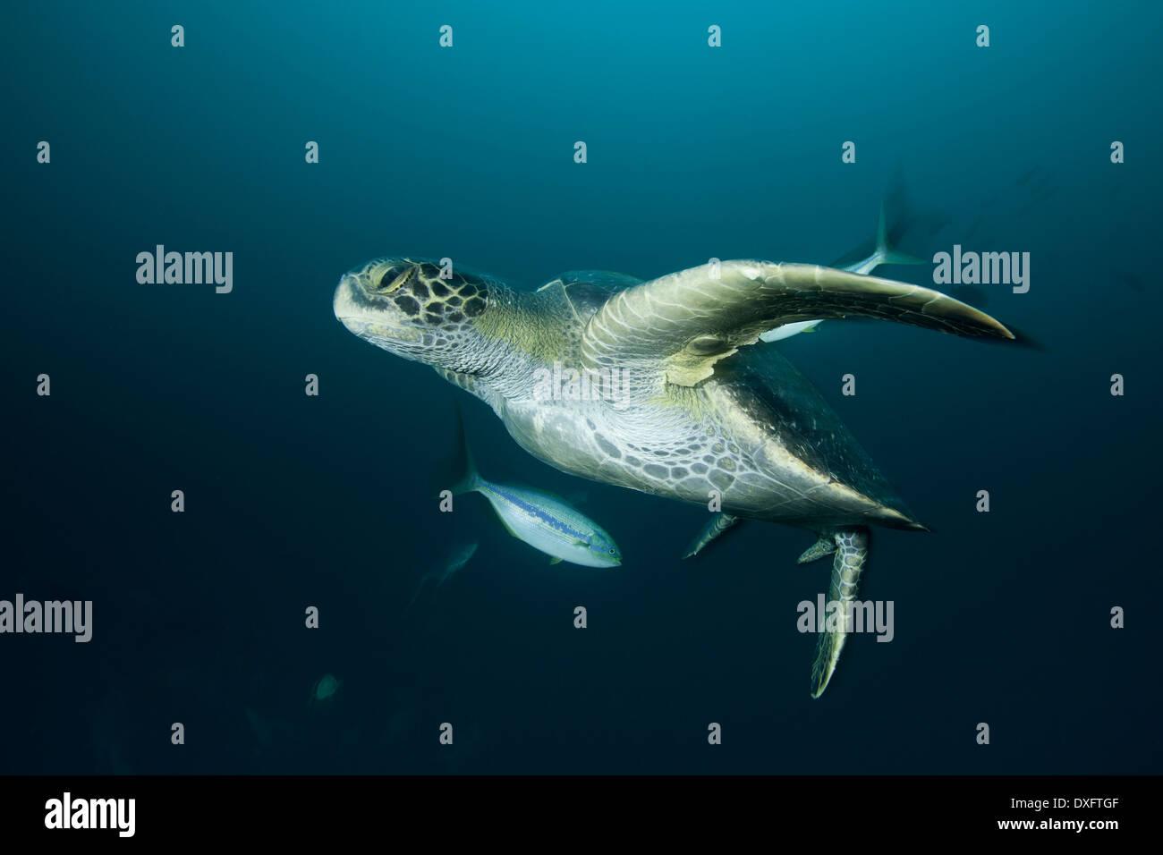 Green Sea Turtle, Chelonia mydas, Cocos Island, Costa Rica - Stock Image