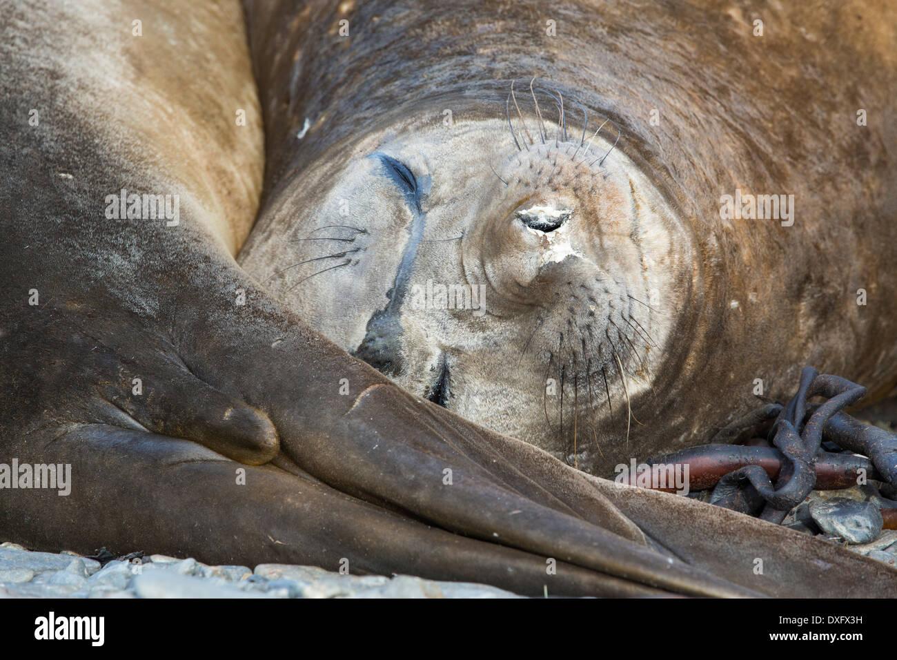 Southern Elephant Seal; Mirounga leonina, on Prion Island, South Georgia, Antarctica. - Stock Image