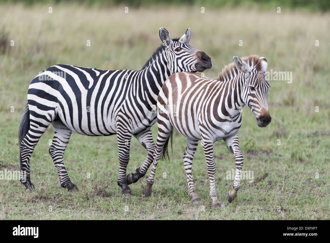 Zebra, playing, spielend, cub, - Stock Image
