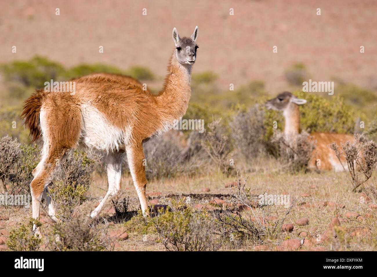 Guanaco Lama, Lama Guanicoe, Valdes Peninsula, Patagonia, Argentina - Stock Image