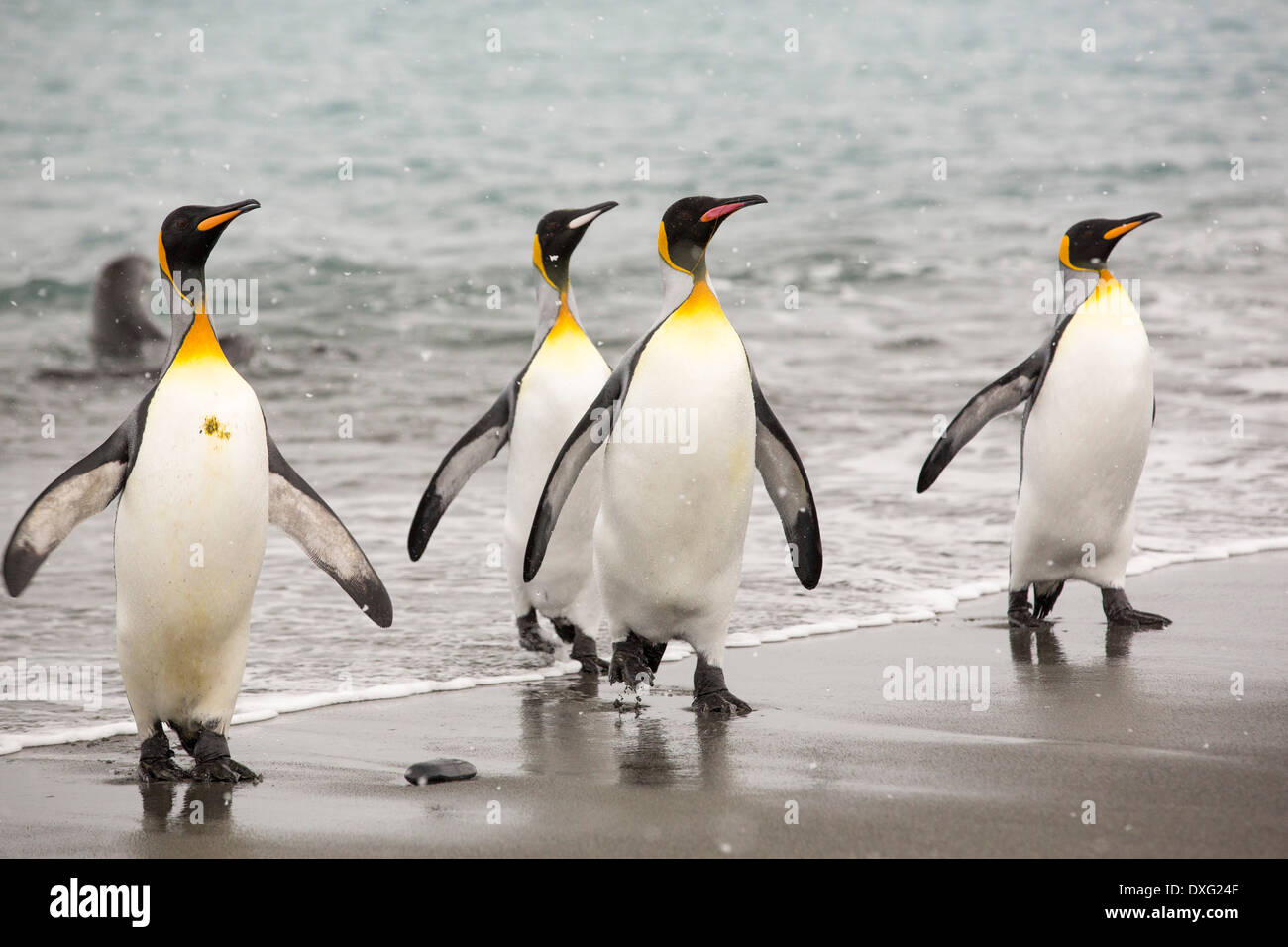 King Penguins emerge from a fishing trip out to see onto the beach in the world's second largest King Penguin colony on Salisbury Plain, South Georgia, Southern Ocean. - Stock Image
