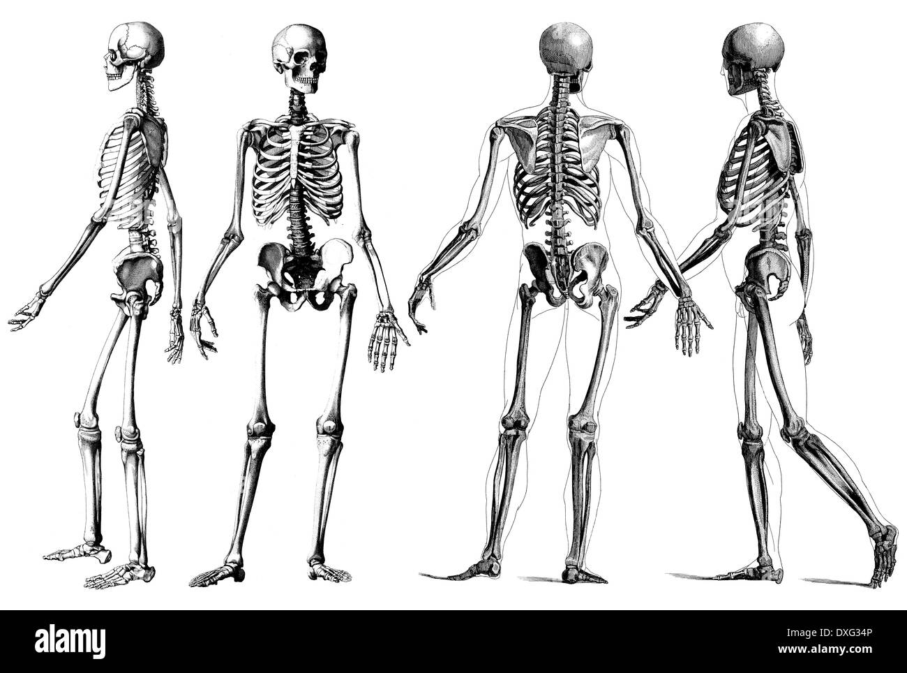 Anatomy Cut Out Stock Images Pictures Alamy