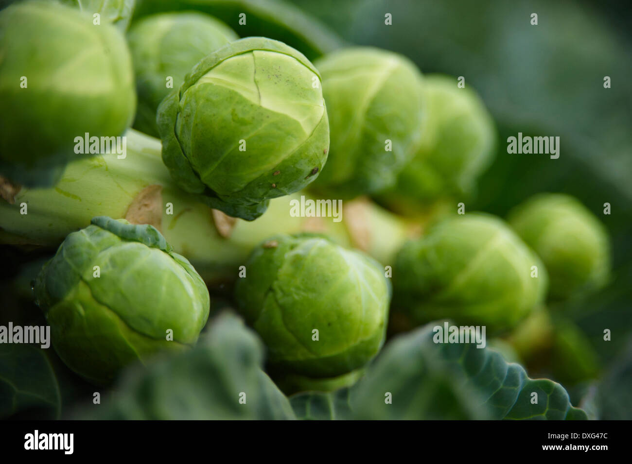 Close Up Of Brussel Sprouts Growing In Garden - Stock Image