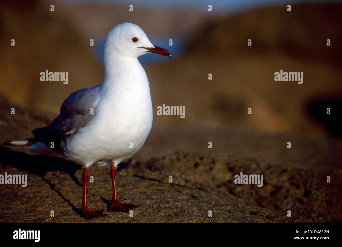Hartlaub's Gull at Luderitz - Stock Image