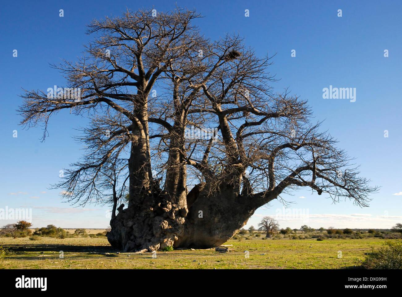 Big Baobab tree on the edge of Sowa Pan, Makgadikgadi Pans,Botswana - Stock Image