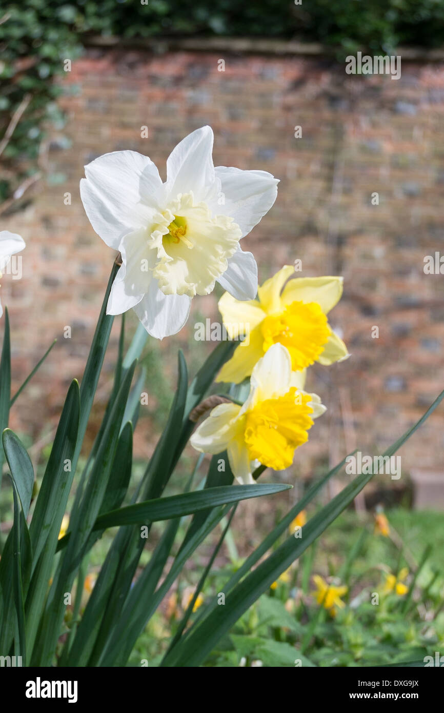 Daffodils Blooming In Spring In England Uk Stock Photo 67970978
