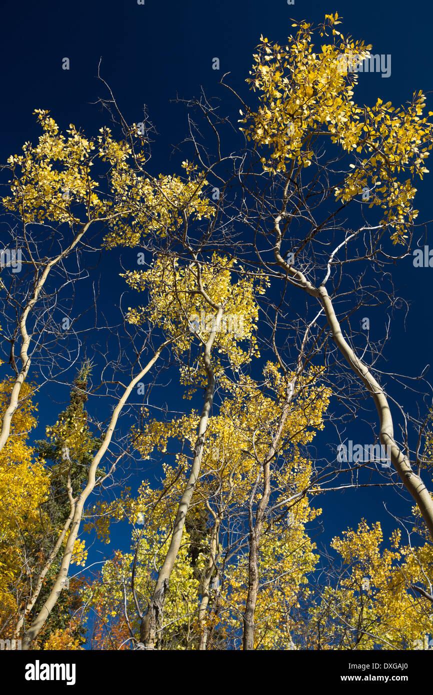 Aspen trees, Tombstone Territorial Park, Yukon Territories, Canada - Stock Image