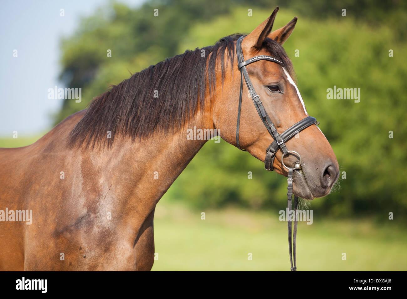 Bay crossbred horse, mare portrait, Austria - Stock Image