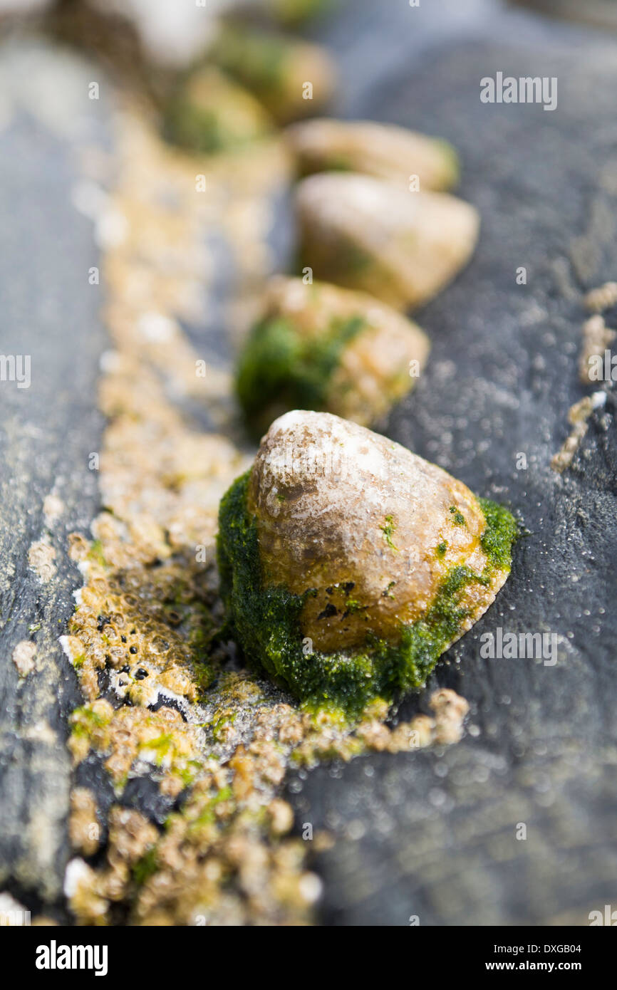 Limpets and barnacles on black metamorphic rock, Isle of Islay, Inner Hebrides, Scotland Stock Photo