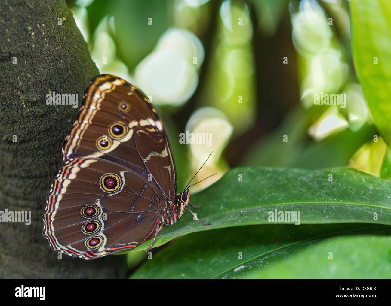 Blue Morpho (Morpho peleides), captive, Munich - Stock Image