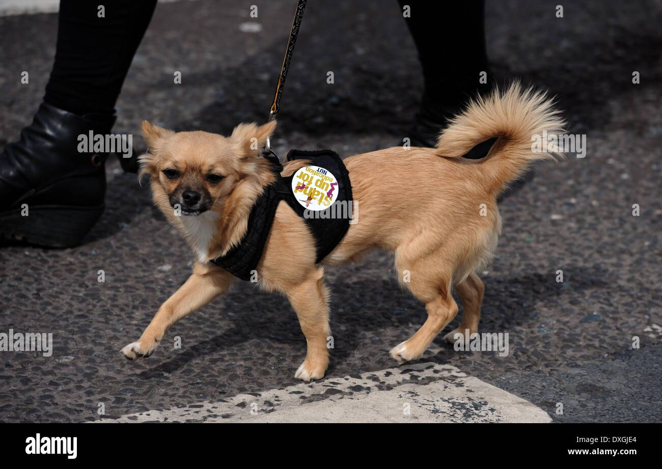 A small dog joins teachers taking part in todays NUT strike in protest at the governments changes to their pensions and conditions march through the centre of Brighton where over 2000 attended a rally  Credit:  Simon Dack/Alamy Live News - Stock Image