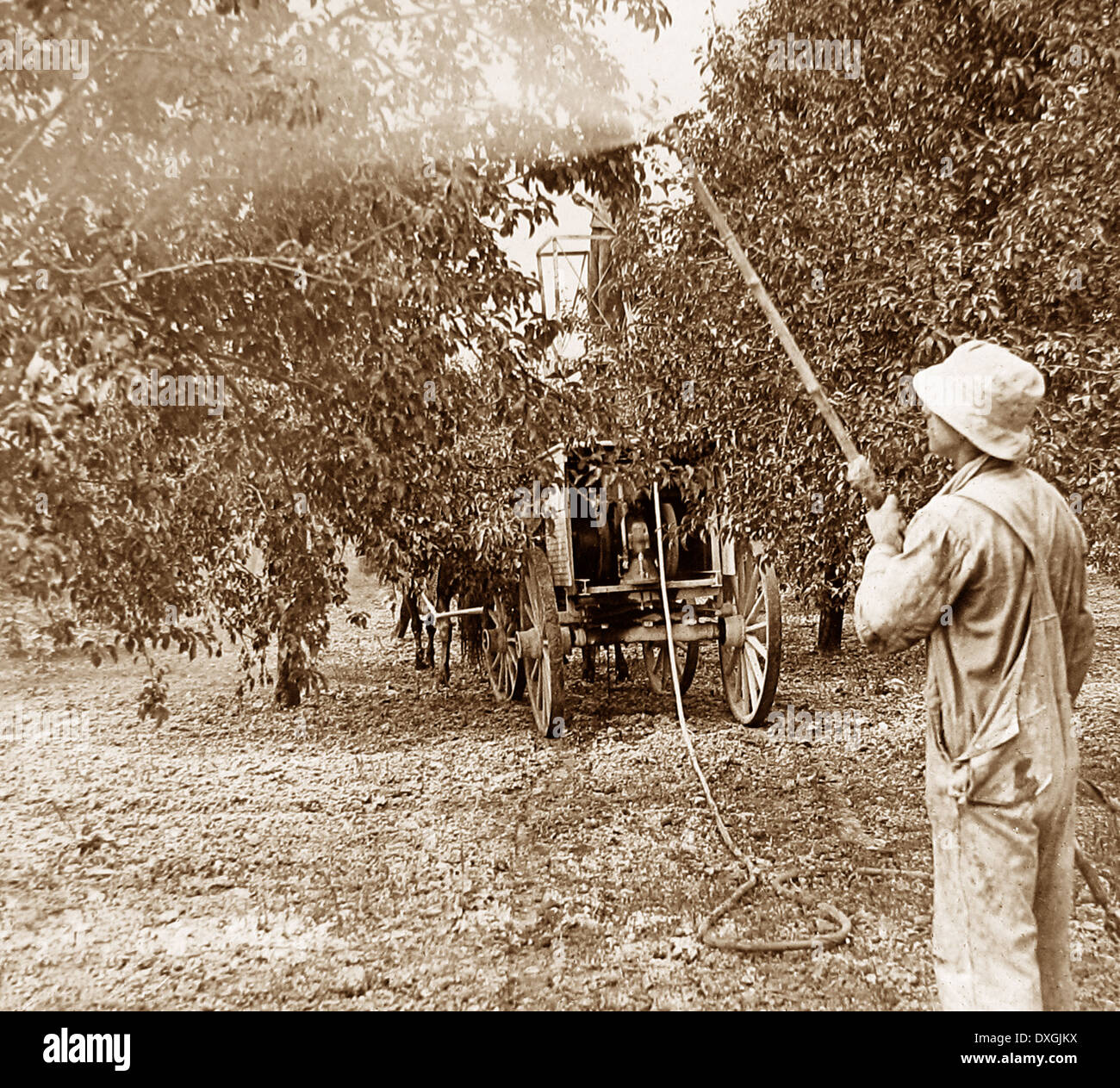 Spraying apples Hilton USA early 1900s - Stock Image