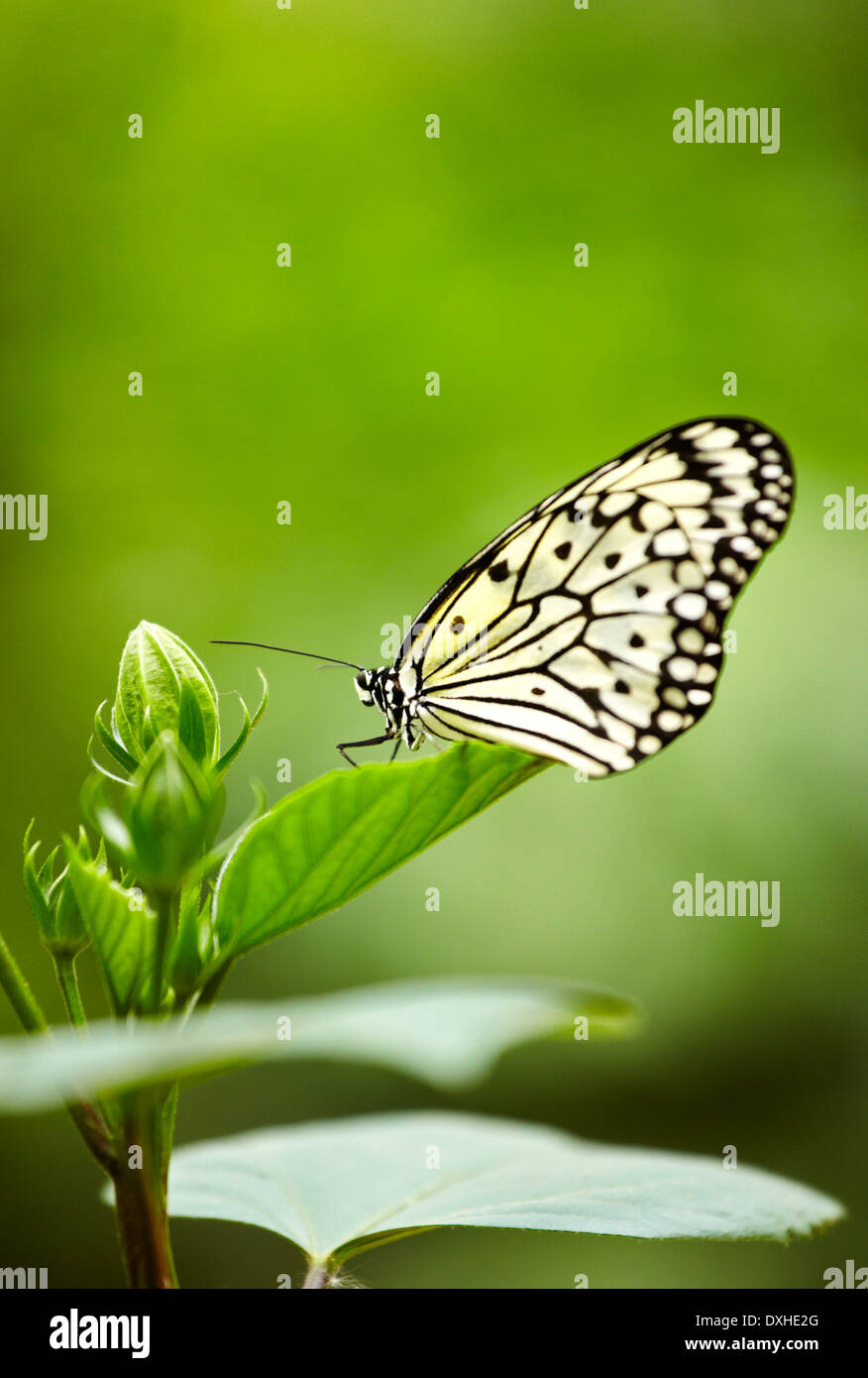 The Paper Kite, Rice paper or Large Tree Nymph (Idea leuconoe) butterfly. Butterfly garden. Hunawihr. Haut Rhin. Alsace. France - Stock Image