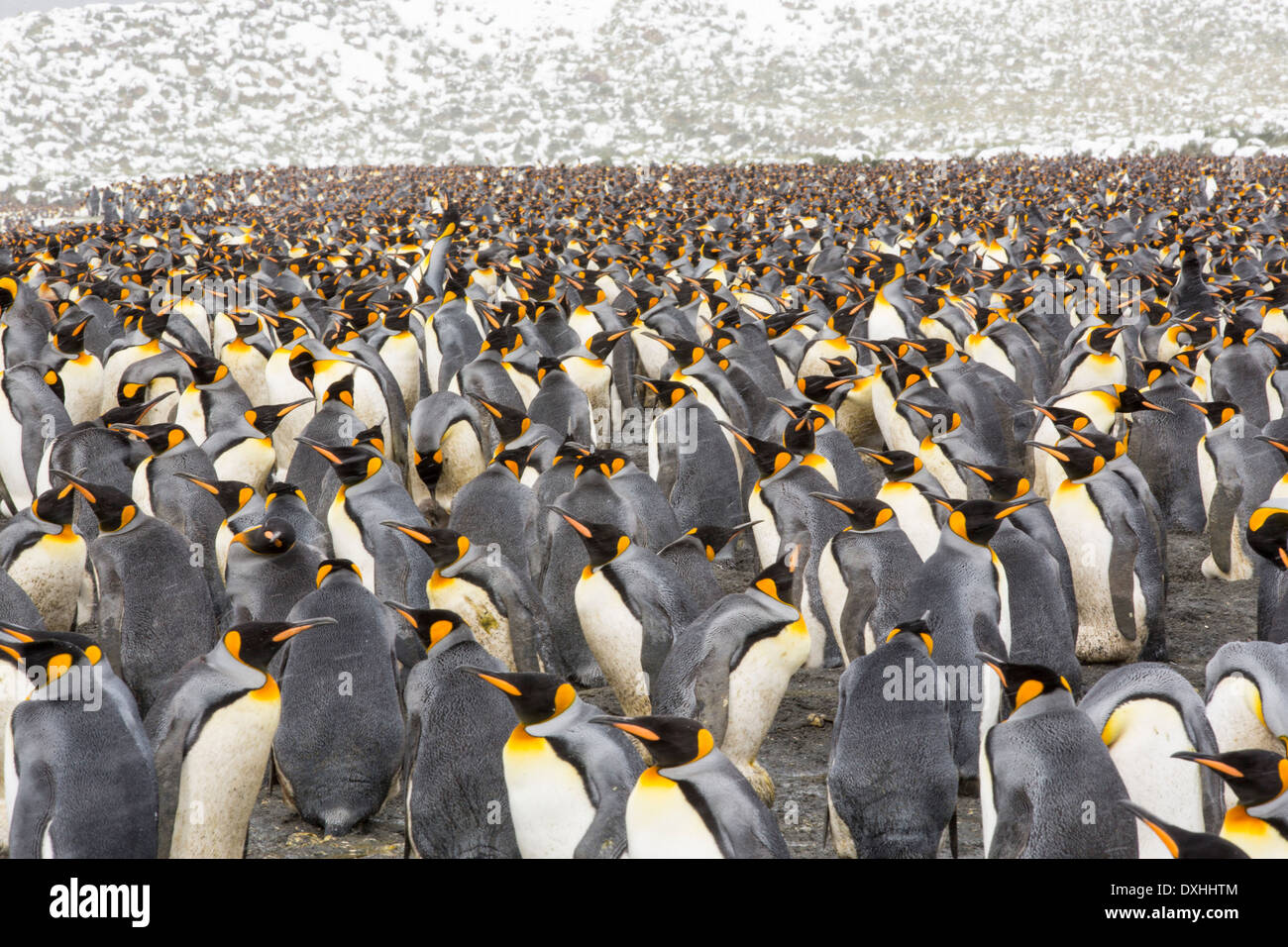 King Penguins on the beach at Gold Harbour on South Georgia, Southern Ocean. - Stock Image