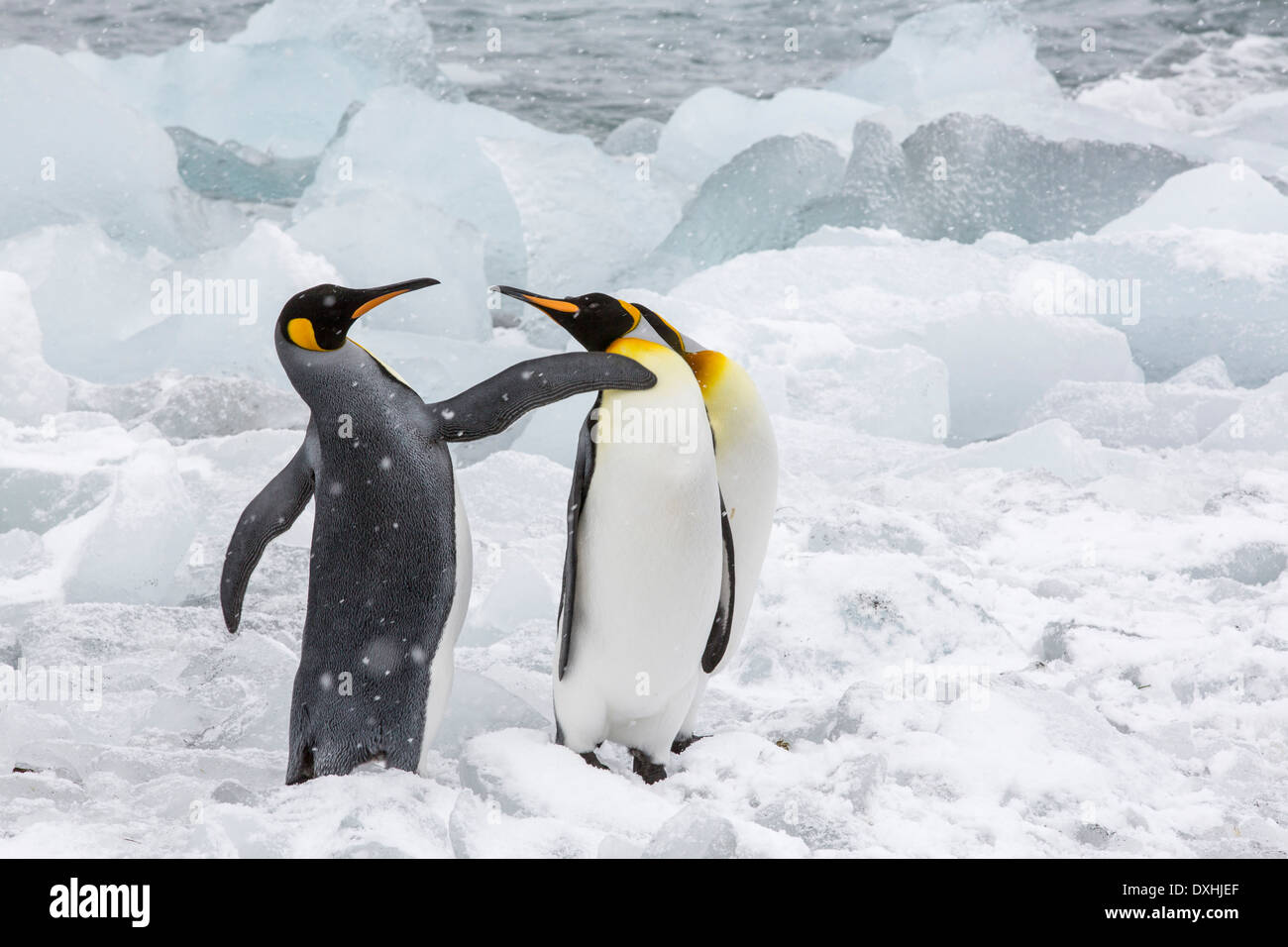 King Penguins flipper fighting at Gold Harbour, South Georgia, Southern Ocean. - Stock Image
