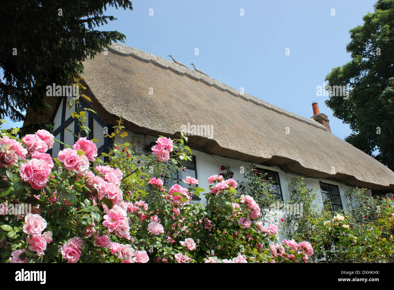 English roses in Thatched cottage garden - Stock Image