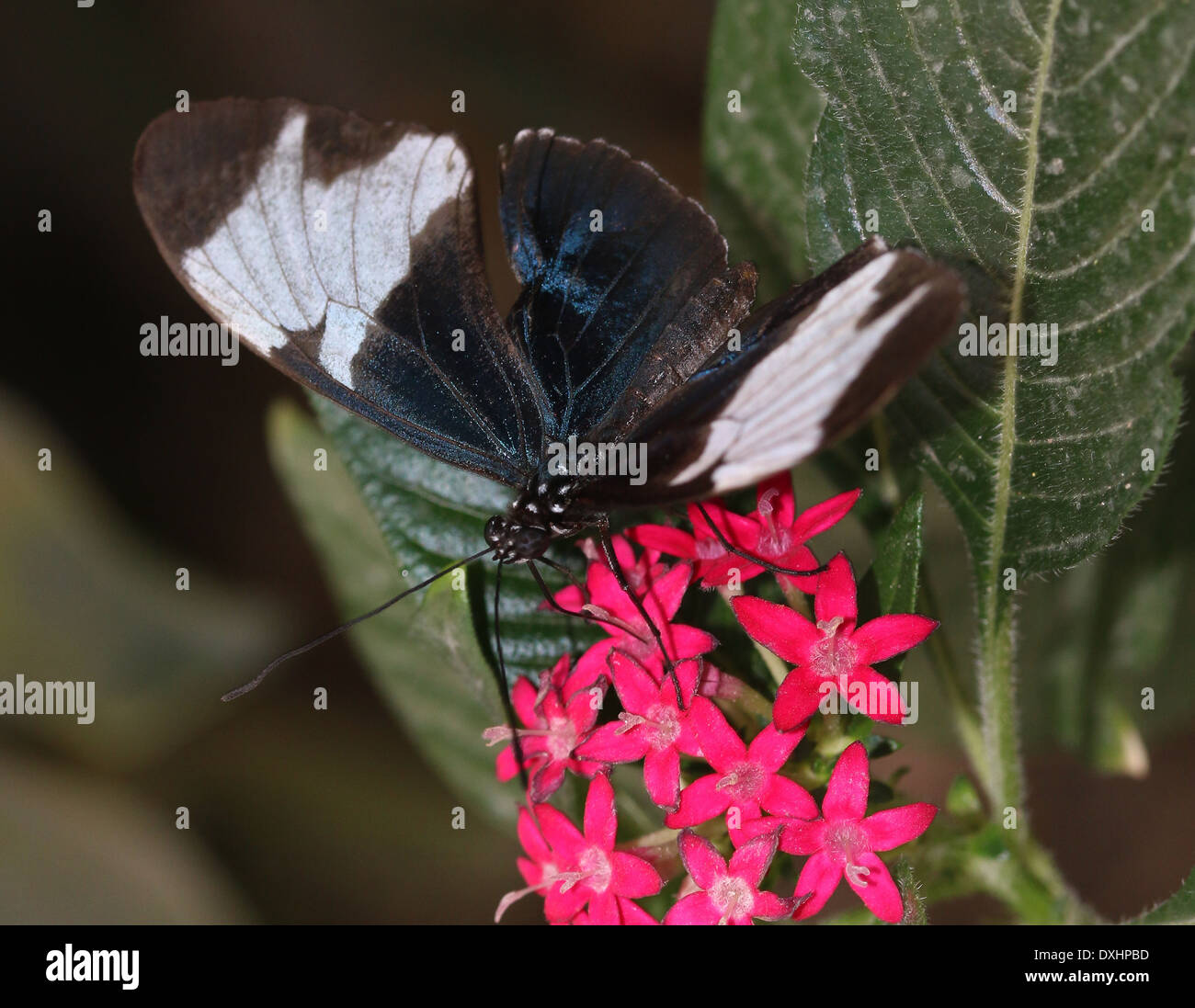 Sapho Longwing (Heliconius sapho) with wings opened, foraging on a red flower Stock Photo