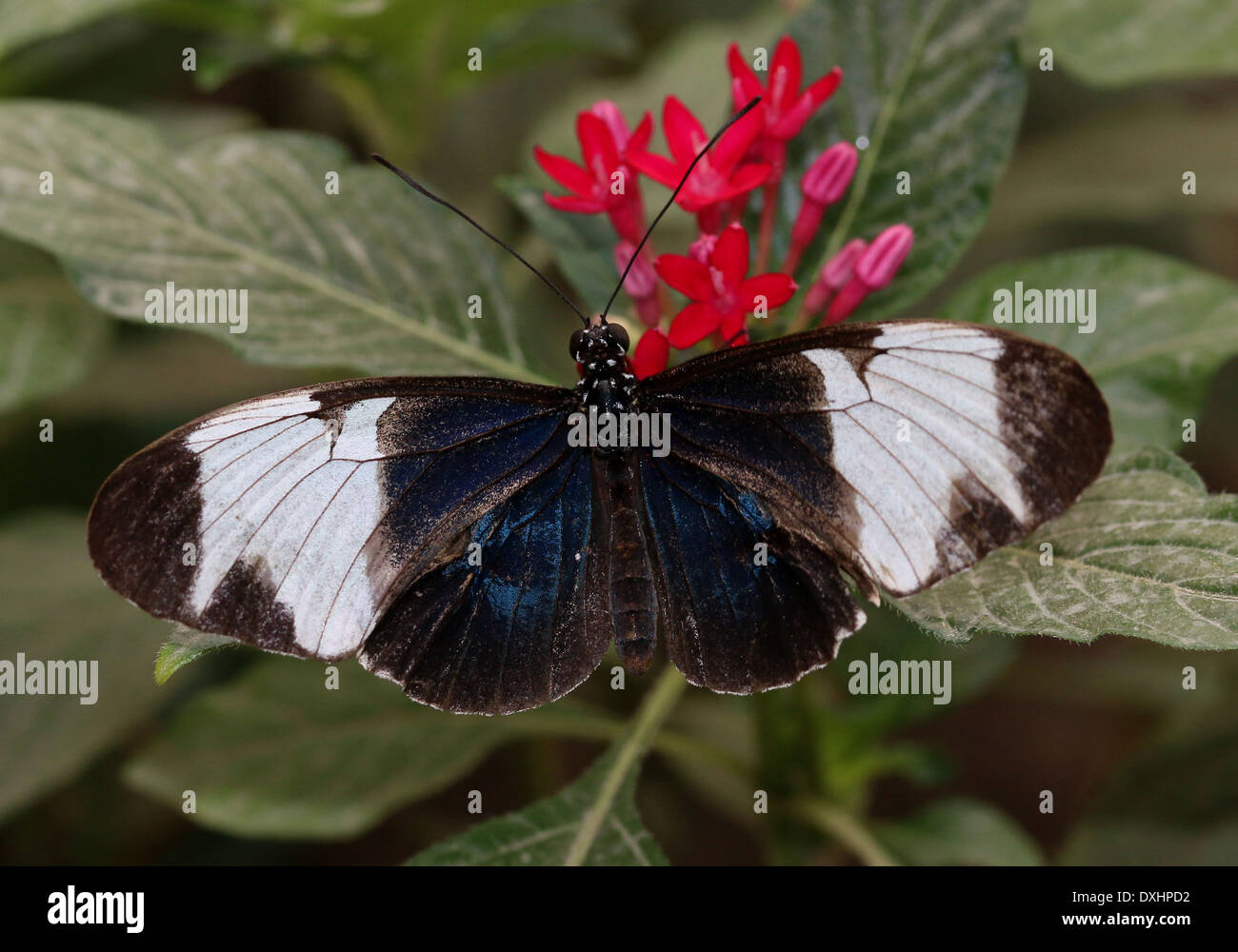 Sapho Longwing (Heliconius sapho) with wings opened, foraging on a red flower - Stock Image