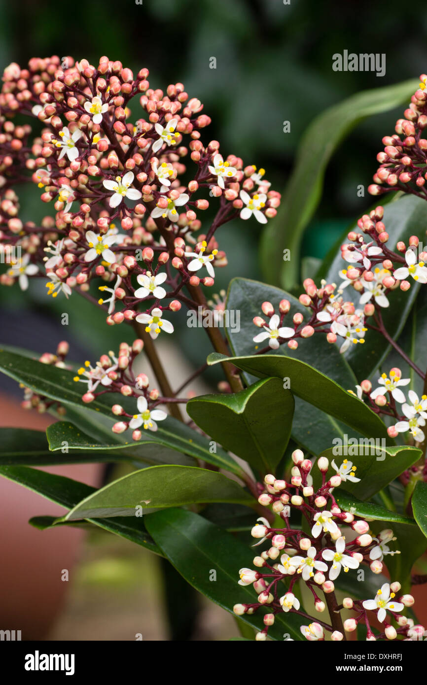 Male flowers of the early spring flowering evergreen shrub, Skimmia japonica 'Rubella' - Stock Image