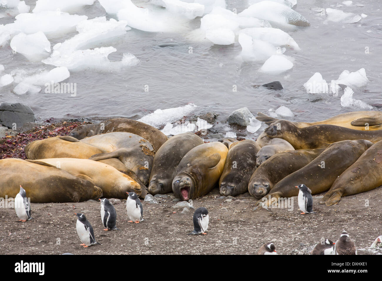 Southern Elephant Seals; Mirounga leonina, with Gentoo Penguins at Hannah Point, on Livingston Island - Stock Image