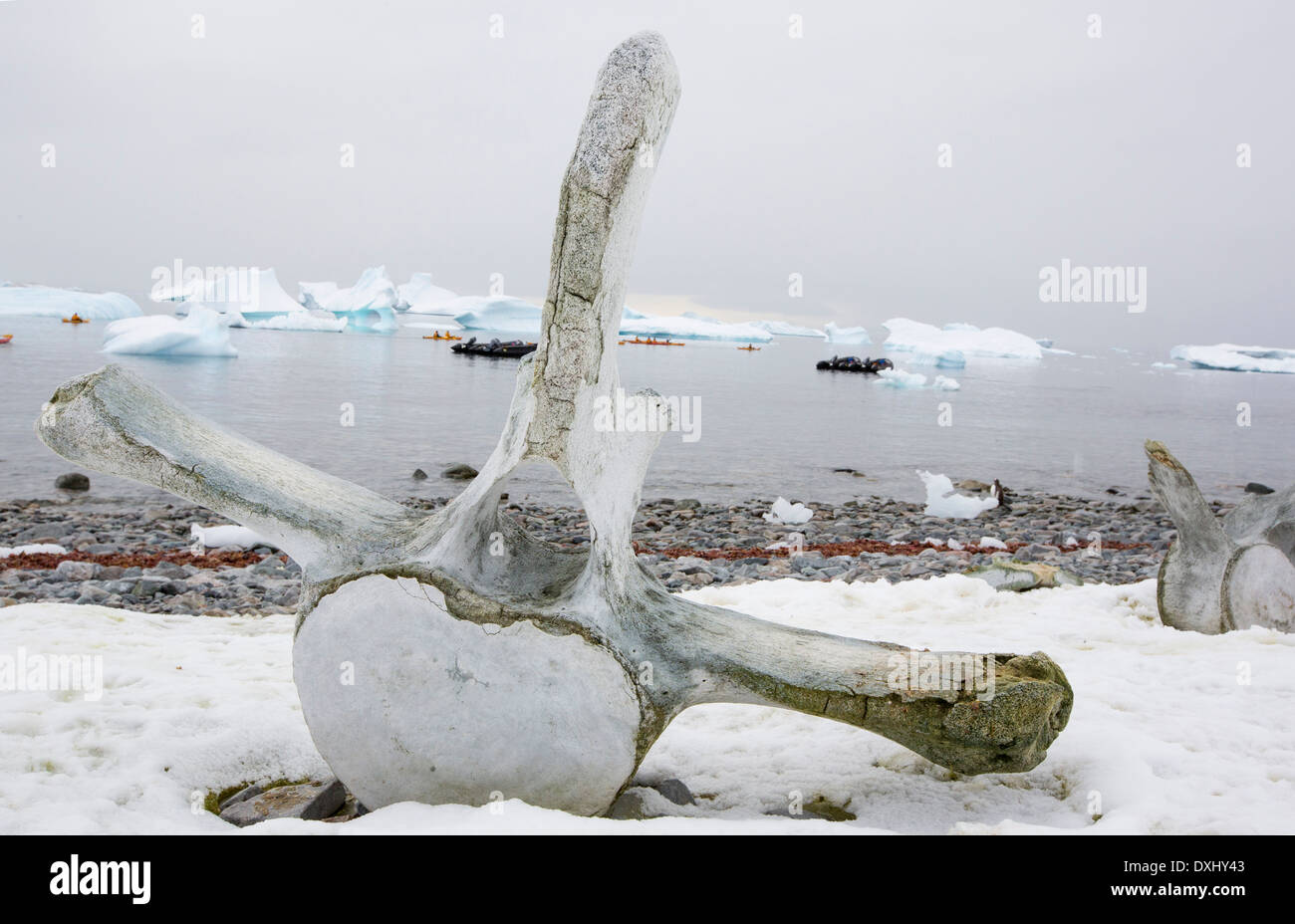 Curverville Island on the Antarctic Peninsular, which is one of the fastest warming places on the planet, with a whale vertebrae - Stock Image