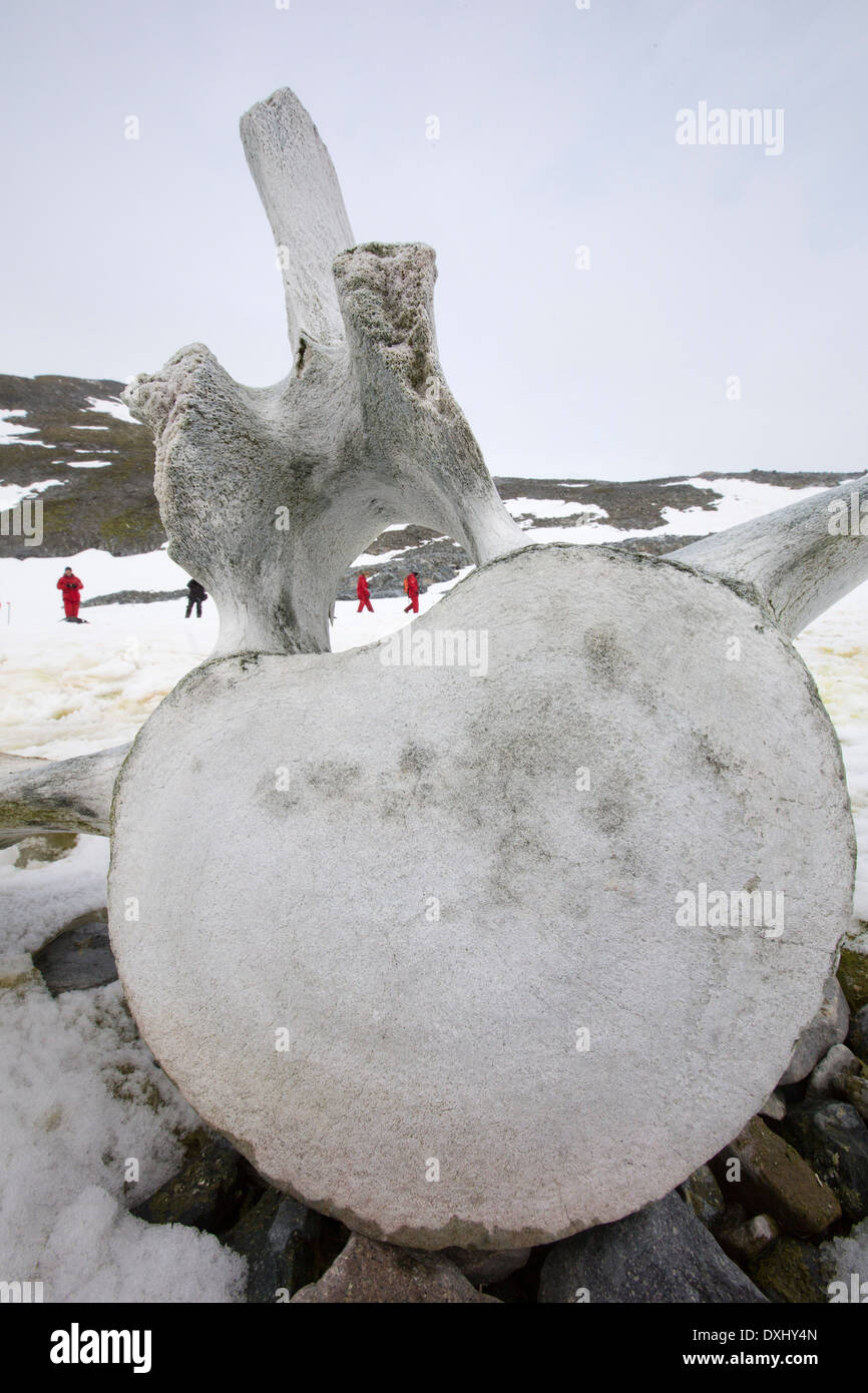 Curverville Island on the Antarctic Peninsular, which is one of the fastest warming places on the planet, with a whale vertebrae. - Stock Image