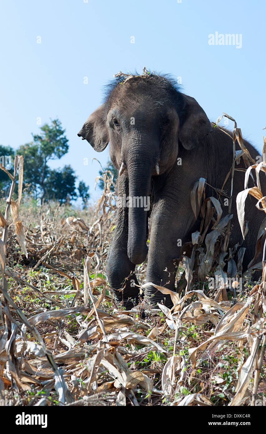 Elephant in the cornfield in the hills around Huay Pakoot in Northern Thailand. - Stock Image