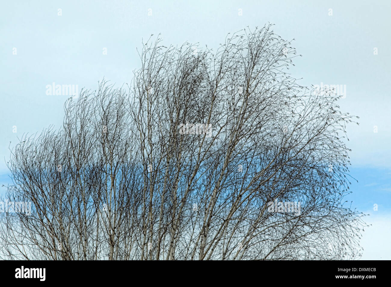 Silver birch trees or Betula pendula on a beautiful day in spring. - Stock Image