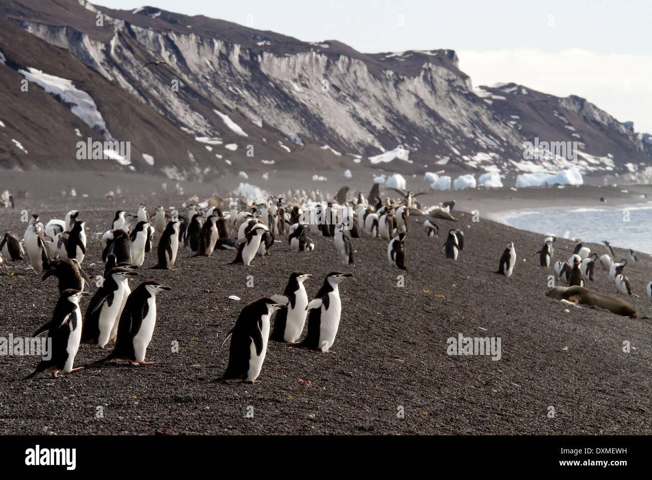 Antarctica penguins, Chinstrap penguin, Pygoscelis antarctica, Bailey Head beach, Deception Island, Antarctic landscape. - Stock Image