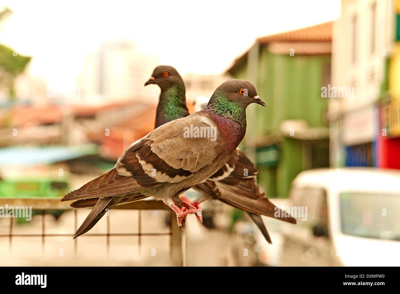 pigeons - Stock Image
