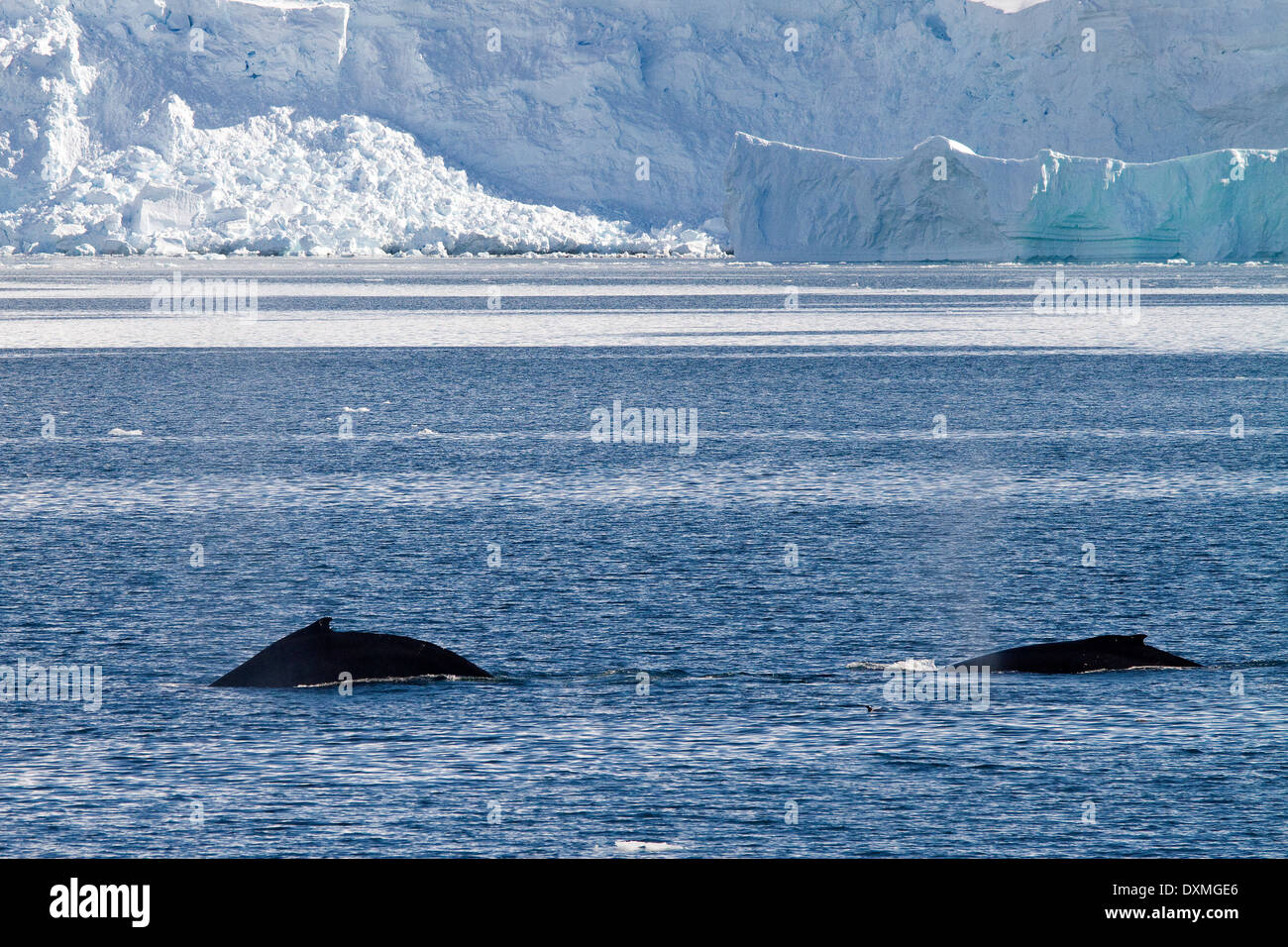 Antarctica whales, Humpback whales Antarctic, Megaptera novaeangliae. Whale dorsal fin. - Stock Image