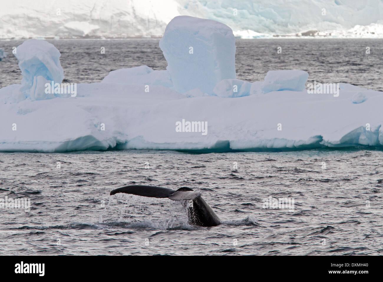 Antarctica whales, Humpback whales Antarctic, Megaptera novaeangliae. Whale flukes with iceberg. - Stock Image