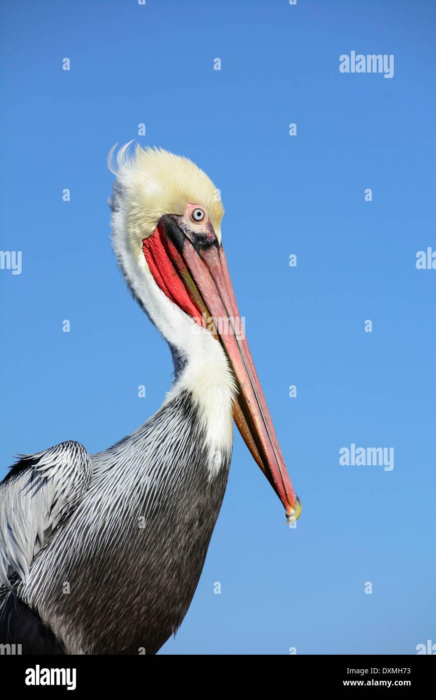 Brown Pelican (Pelecanus occidentalis) in winter plumage; Oceanside, California. - Stock Image