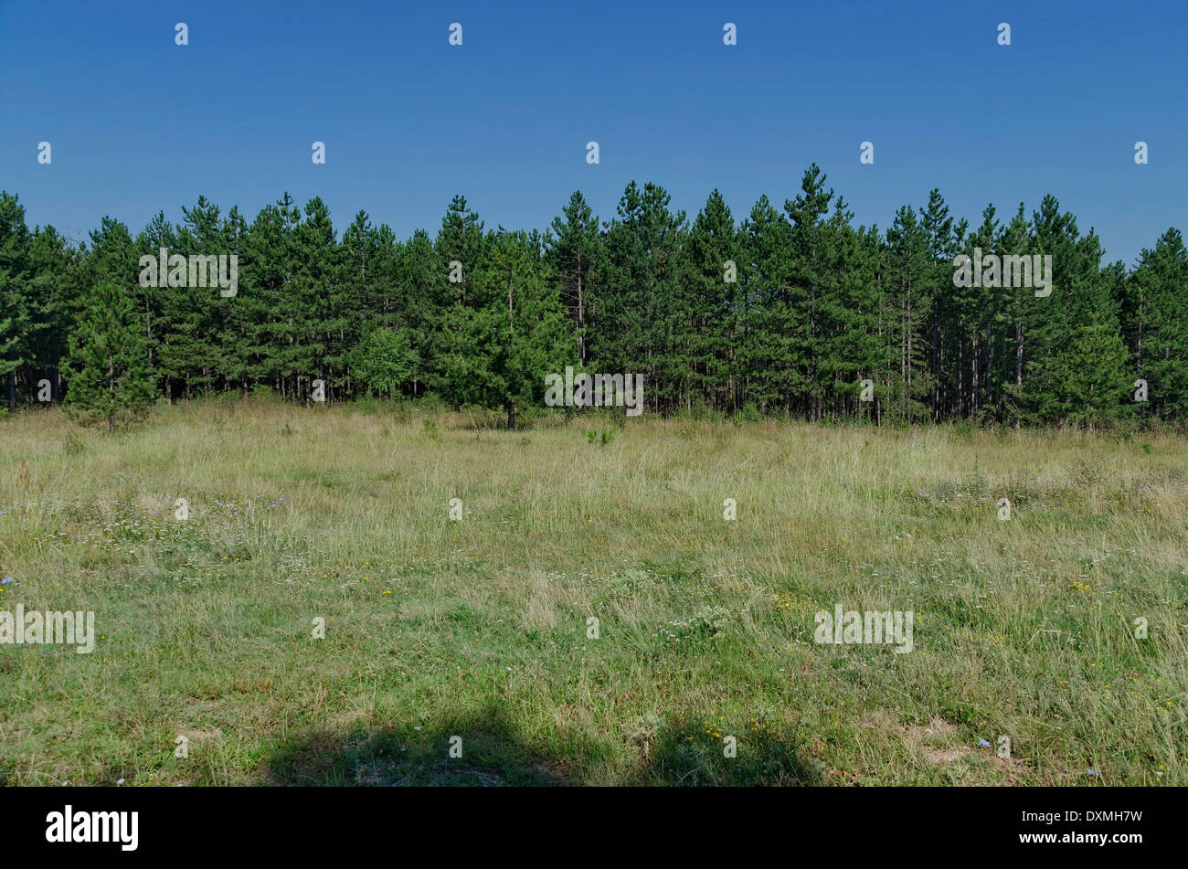 Conifer forest in Balkan mountain, Bulgaria - Stock Image