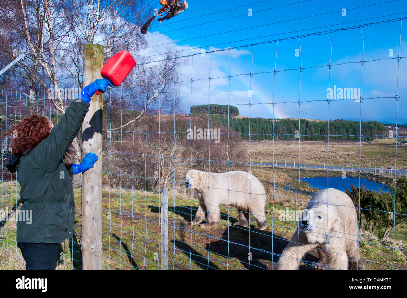 Lunchtime food for young male polar bears Walker and Arktos is thrown over the fence by animal keeper at Highland Wildlife Park - Stock Image