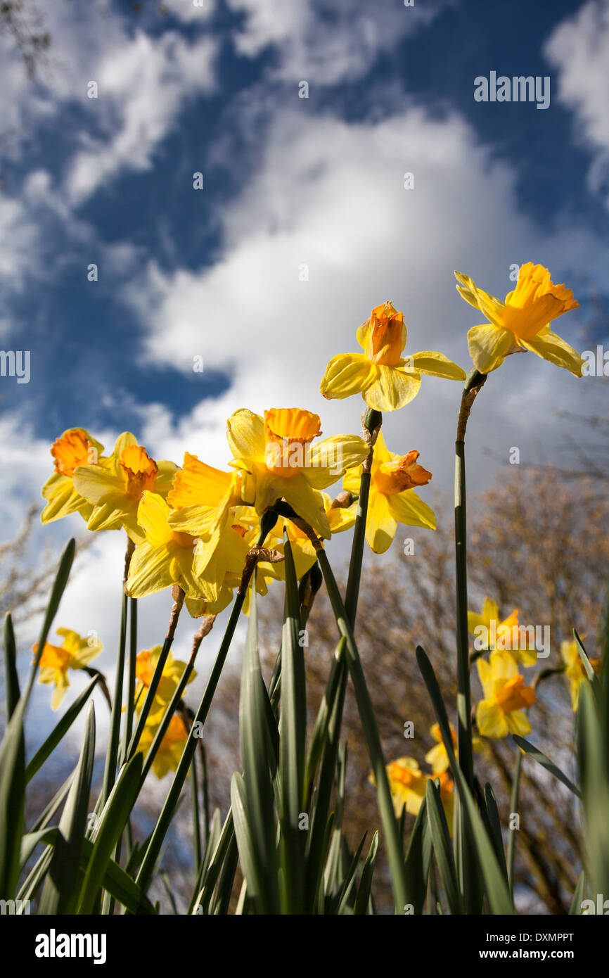 Daffodils-Narcissus Pseudonarcissus,Lent Lilly - Stock Image